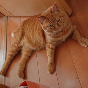 迷子猫捜索のお願い
