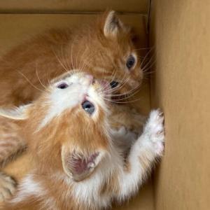 子猫たち里親募集のお知らせですよー。