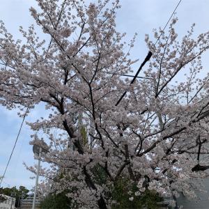 今年、初めての桜と昼ごはん