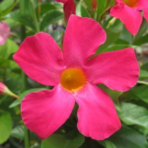 夏秋庭花 サンパラソル咲きました 「今日はしまくとぅばの日」