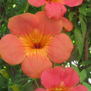 夏秋庭花 ノウゼンカズラ咲いています 「今日は敬老の日」