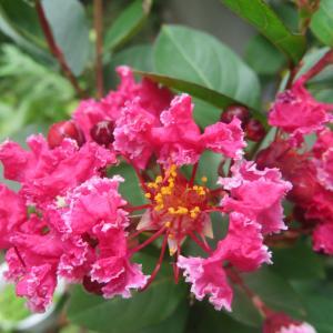 夏秋庭花 サルスベリ咲いています 23日幼稚園運動会 「今日は月見酒の日」