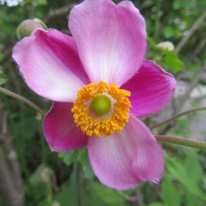 秋庭花 シュウメイギクが咲きました 満月魅了 「今日は花園ラグビーの日」