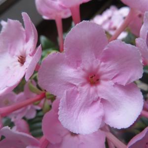 秋庭花 ルクリアが咲きました 「今日はプライバシーデー」