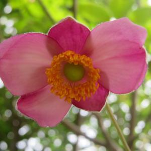 秋庭花 シュウメイギク咲いています 「今日はアニメの日」