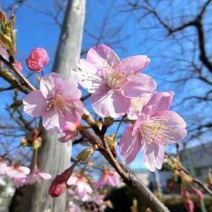 二ケ領用水の河津桜は2月の花びらです