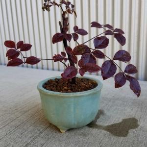 南天小僧のミニ盆栽