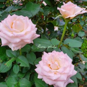 【東京ぷち旅】7月の日比谷公園のバラと花壇。9月のぷち旅は両国へ
