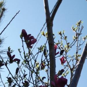 モクレン 春の花