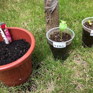 芽が出てきました ホウセンカ ひまわり