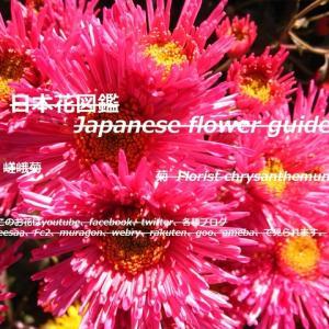 ピンクの海栗(うに)?!Pink sea urchin? !!