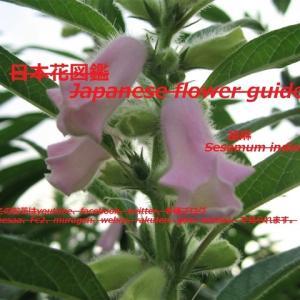 胡麻の花?!Sesame flower? !!