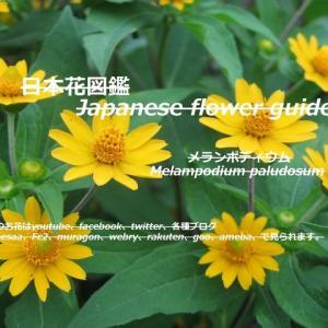 小さなひまわり?満開!Small sunflowers? full bloom!