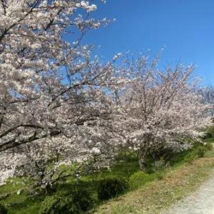 夢の里とべ 桜満開