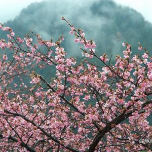 遠山郷の河津桜