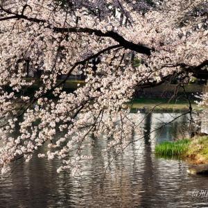それでも桜は咲く