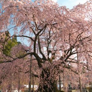 南信州の桜(その3)