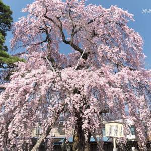 南信州の桜(その4)