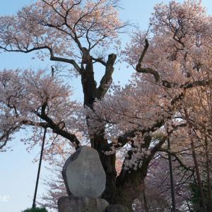 南信州の桜(その5)