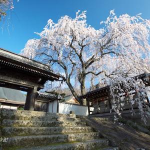 武田氏ゆかりの地に咲く桜