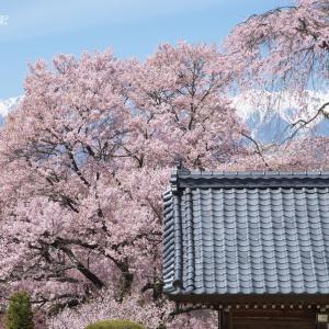 上伊那の桜(その1)