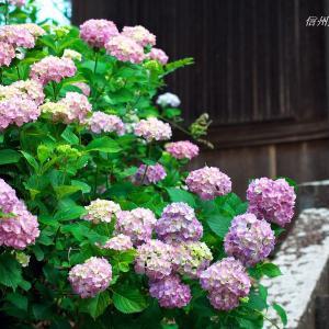 蓮台寺の紫陽花