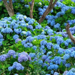 飯綱東高原の紫陽花