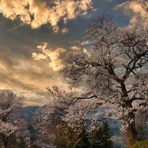 枌の木百年桜