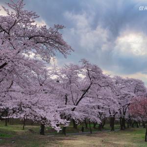 寂しき千本桜