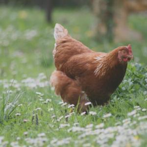 チキン、ヘンの違いとは。ルースター・コック、チック等の意味