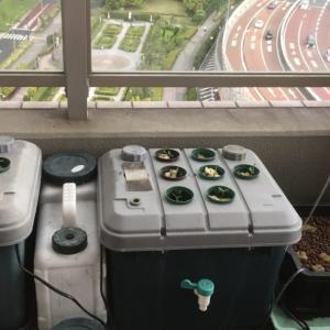 #Stayhomeのベランダ水耕栽培。空気がポイント!?