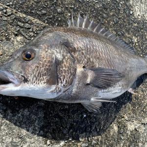 【加太大波止】ノッコミシーズンのフカセ釣りで大型チヌ