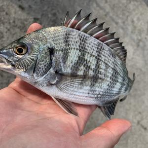 【平塚新港】フカセ釣りでクロダイを狙いましたが小物のみ…