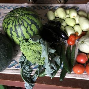 菜園:本日の収穫