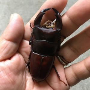 オオクワガタ:羽化と蛹化