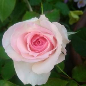 薔薇 春乃が咲きました