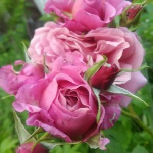 薔薇 あおいが咲きました