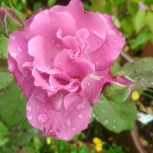 薔薇 エンジェルフェイスが咲きました