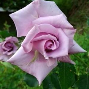 薔薇をお迎えしました