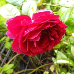 薔薇たち 咲いてます!