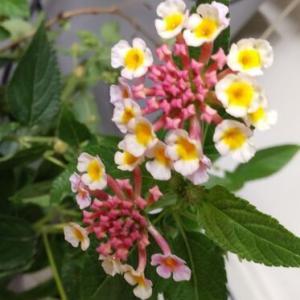 ランタナの花が可愛い