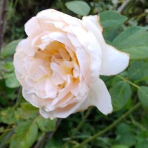 今朝の薔薇たちたち