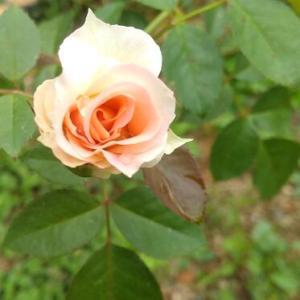 薔薇たち、可愛い