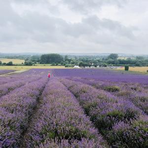 ロンドンから日帰りで行けるイギリスのラベンダー畑 Hitchin Lavender(ヒッチンラベンダー)