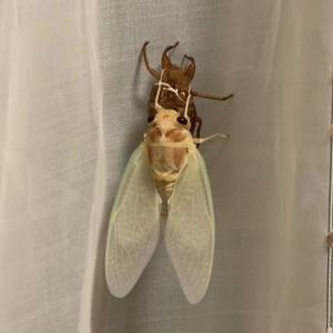 セミ(蝉)の羽化