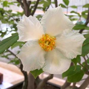 「娑羅双樹の花」を見てきた