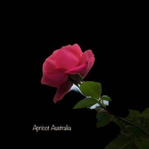 庭の薔薇の花に願いを込めて