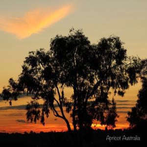 ユーカリの木をシルエットに夕景写真撮影