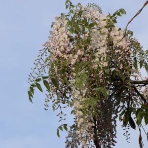 藤の花が咲いた/スクールホリデーがスタート