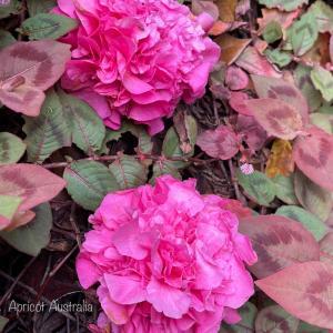 カメリアが美しく咲く我が家/ビクトリア州緩和